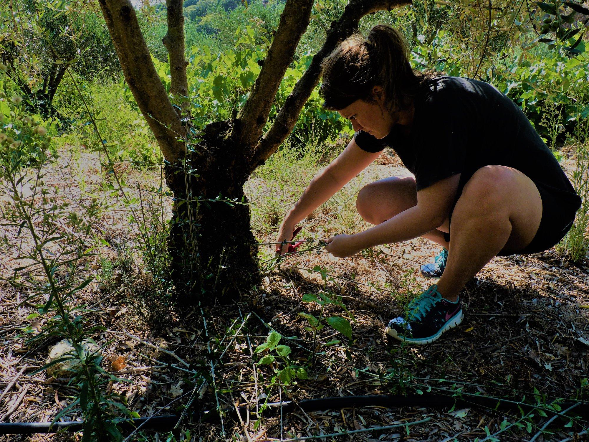 Entretien des oliviers Amos huile d'olive