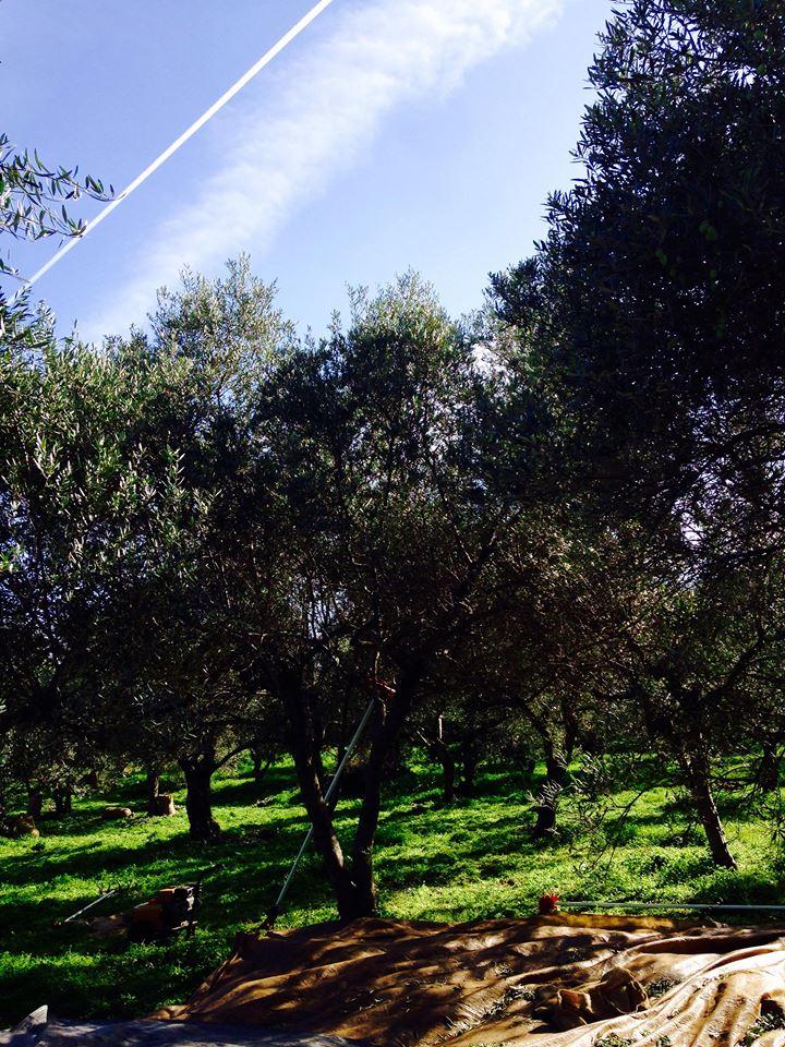 Récolte – Novembre 2018 Amos huile d'olive
